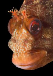 This is the real Tompot Blenny - my last shot I downloade... by Malcolm Nimmo 